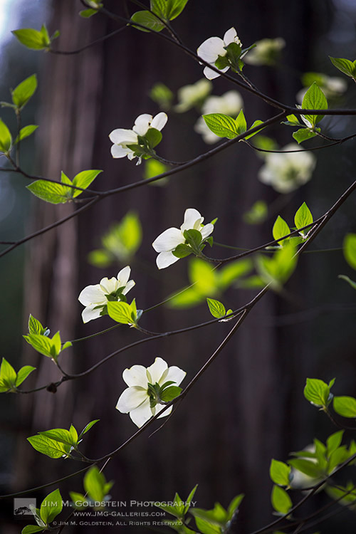 Dogwoods Blooming in Yosemite National Park