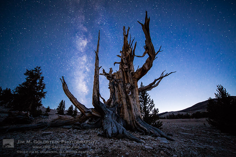 bristlecone pines with milky way transit
