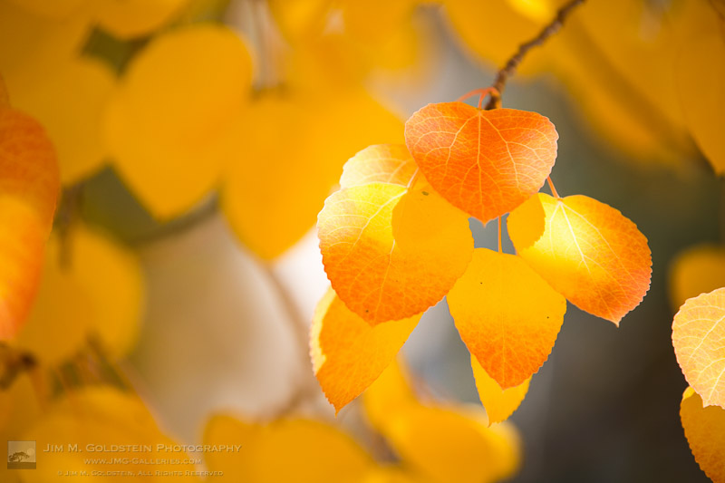 Fall Color California Red and Golden Yellow  aspen leaves  in the dancing sunlight.