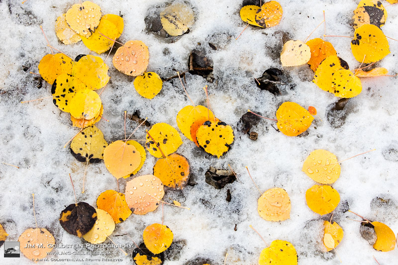Fallen Aspen leaves with water droplets resting on melting snow