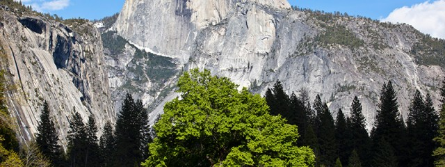 Cook's Meadow Elm Tree & Half Dome