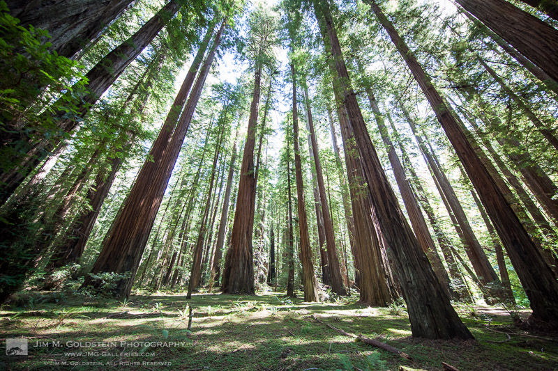 300+ foot Redwood trees reach to the sky as seen from the Founders Grove