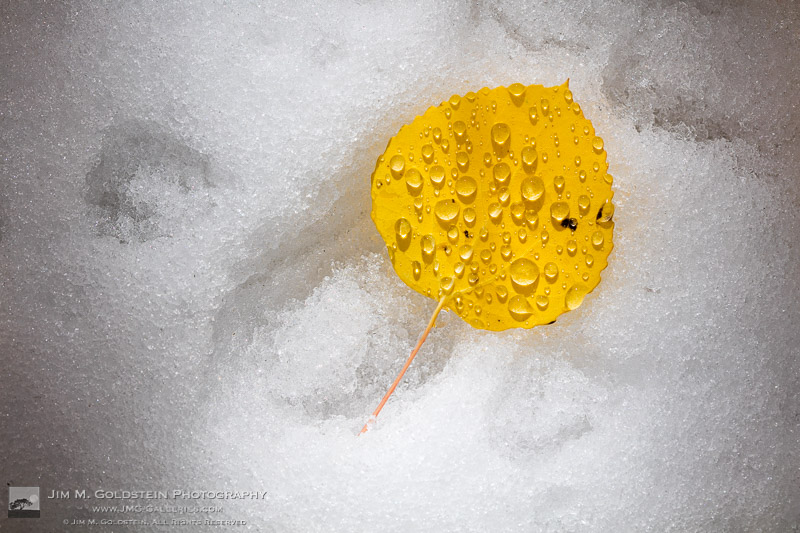 A yellow Aspen leaf with water droplets rests on the snowy ground