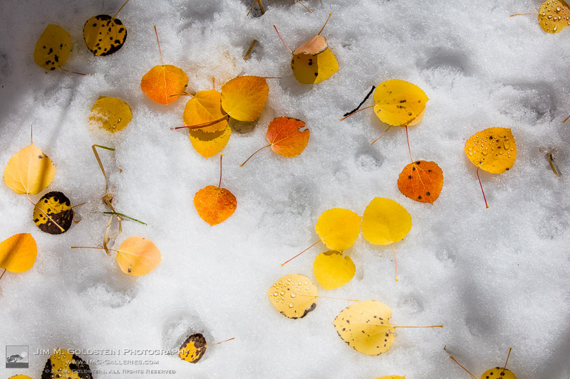 Brightly colored Aspen leaves rest on snow
