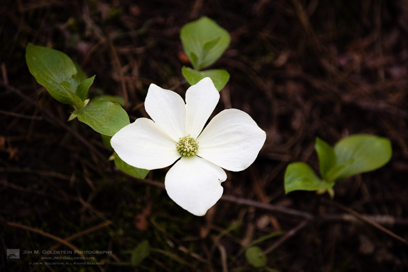 Dogwood Blossom, Yosemite National Park