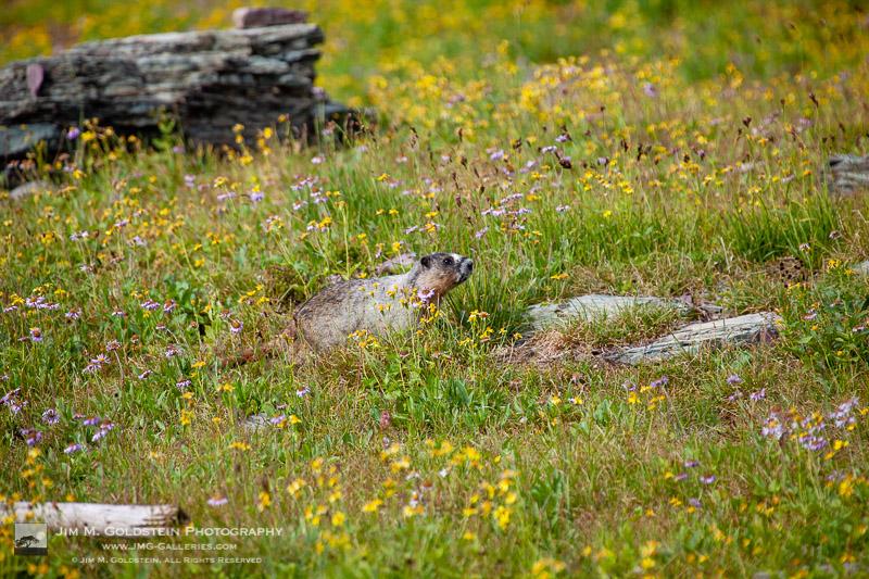 Hoary marmot – Glacier National Park, Montana
