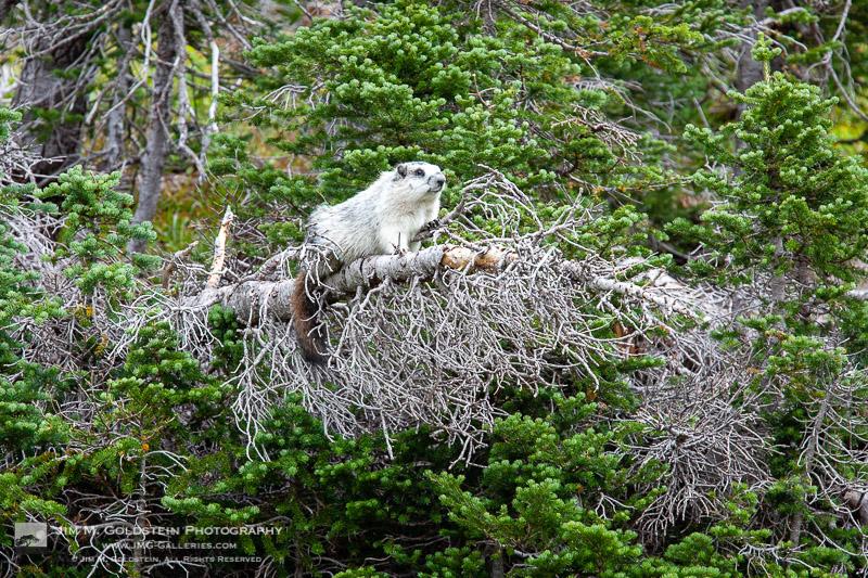 Hoary marmot in a tree – Glacier National Park, Montana