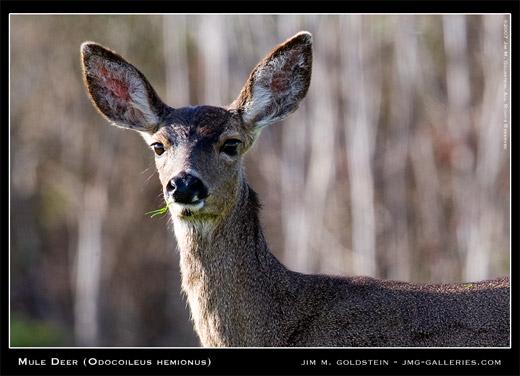 Mule Deer (Odocoileus hemionus) photographed by Jim M. Goldstein