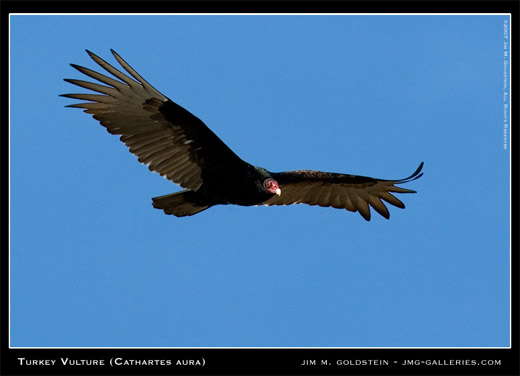 Turkey Vulture (Cathartes aura) photographed by Jim M. Goldstein