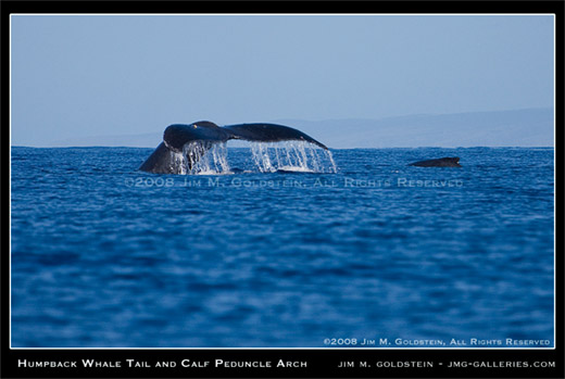 Humpback Whale Tail and Calf Peduncle Arch - Maui, Hawaii nature photo by Jim M. Goldstein