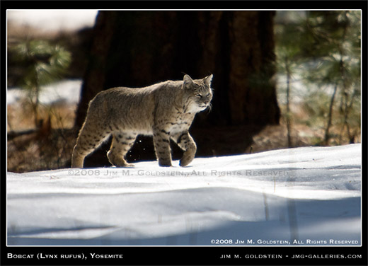 Bobcat (Lynx rufus), Yosemite National Park, wildlife photo by Jim M. Goldstein