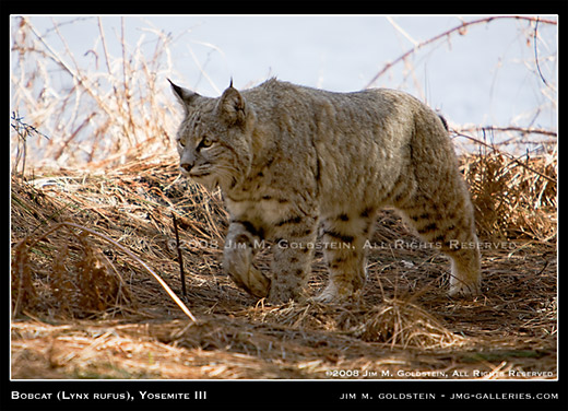 Wild Bobcat (Lynx rufus, Yosemite National Park wildlife photo by Jim M. Goldstein