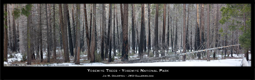 Yosemite Trees Panoramic Landscape Photo by Jim M. Goldstein