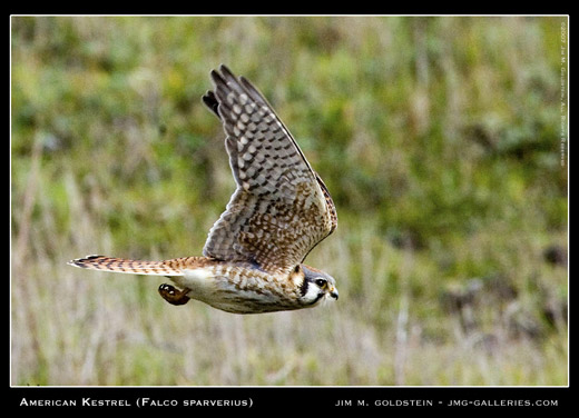 American Kestrel wildlife photo by Jim M. Goldstein