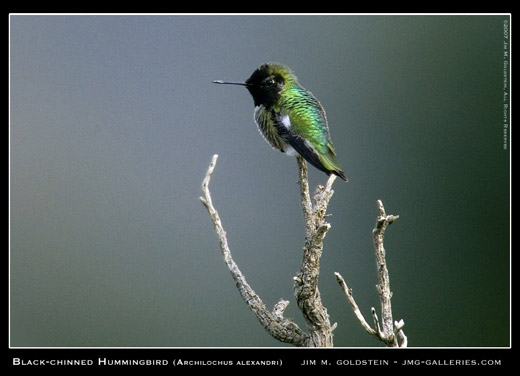 Black-chinned Hummingbird Photographed by Jim M. Goldstein