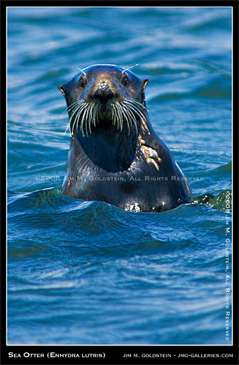 040908_sea_otter_enhydra_lutris_520ccc2.