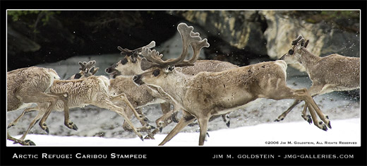 Arctic Refuge: Caribou Stampede photographed by Jim M. Goldstein
