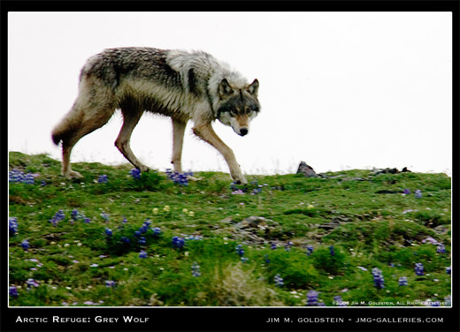 Wild Arctic Grey Wolf in the Arctic Refuge nature photo by Jim M. Goldstein