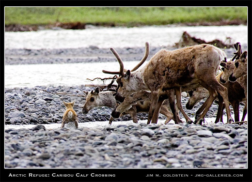 Arctic Refuge: Caribou Calf Crossing by Jim M. Goldstein