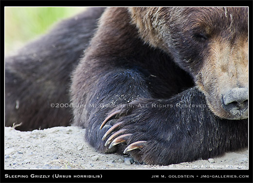 Grizzly Bear (Ursus horribilis) wildlife photo by Jim M. Goldstein