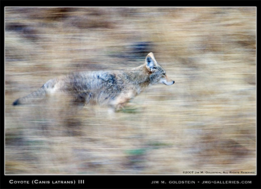 Coyote III nature photo by Jim M. Goldstein, Canis latrans