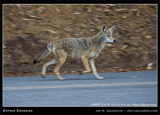 Coyote Crossing wildlife photo by Jim M. Goldstein