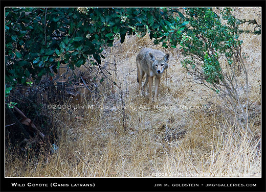 Wild Coyote (Canis latrans) wildlife photo by Jim M. Goldstein