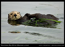 California Sea Otter Enhydra lutris wildlife photography by Jim M. Goldstein