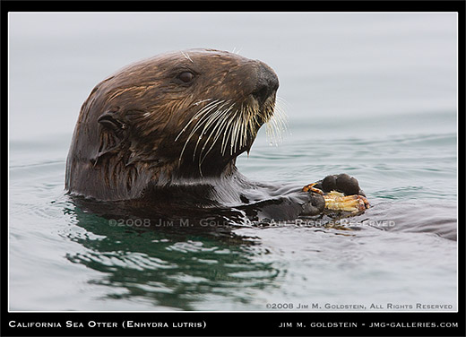 California Sea Otter - Enhydra lutris by Jim M. Goldstein