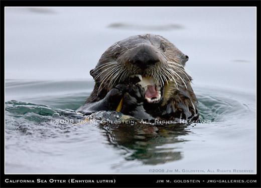 California Sea Otter - Enhydra lutris by Jim M. Goldstein
