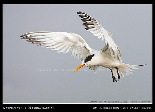 Caspian Tern - Sterna caspia by Jim M. Goldstein