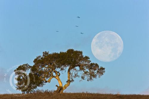 Perigee Moon & California Oak