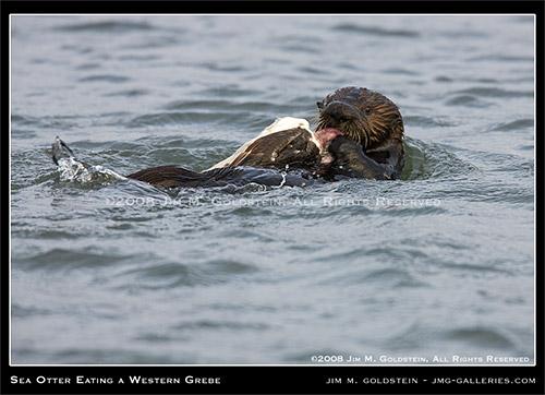 California Sea Otter (Enhydra lutris) Attacking A Western Grebe (Aechmophorus occidentalis)