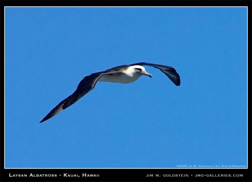 Laysan Albatross - Kauai Hawaii
