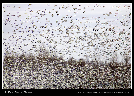 A Few Snow Geese photographed by Jim M. Goldstein