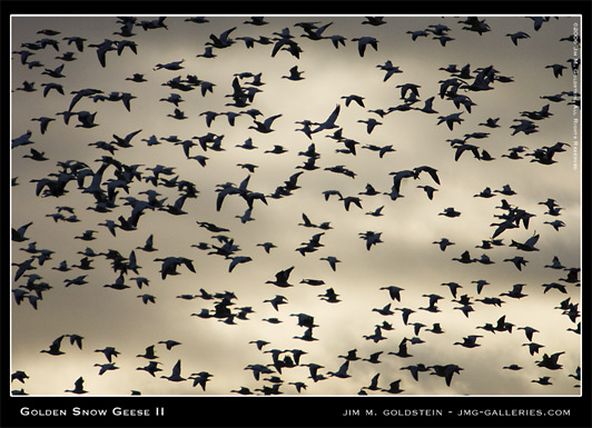 Golden Snow Geese II photographed by Jim M. Goldstein