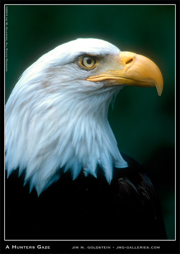 American Bald Eagle Profile photographed by Jim M. Goldstein