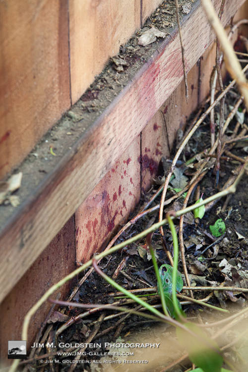 Mountain Lion Bloods Stains - Redwood City Urban Mountain Lion Killing