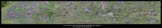 Arctic National Wildlife Refuge - 100 Caribou Panoramic