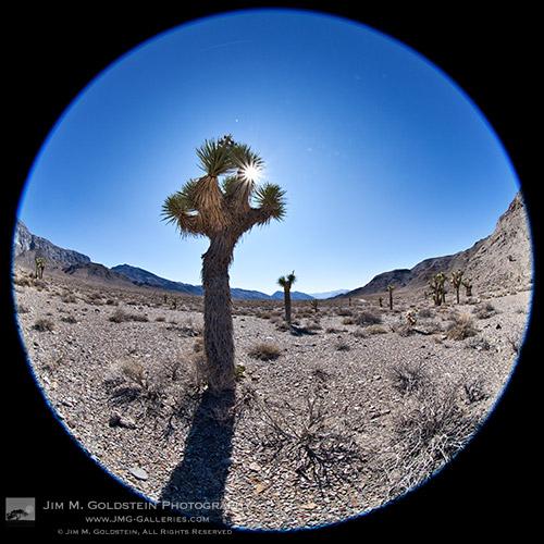 Joshua Trees (Yucca brevifolia) - Death Valley National Park, California