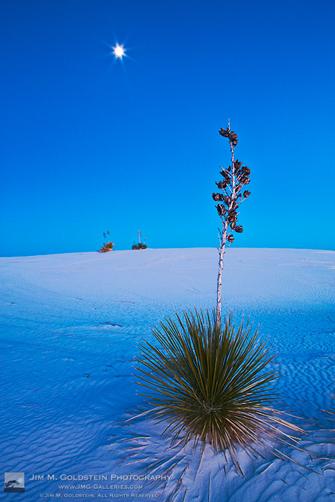Iconic White Sands National Monument Landscape with Soaptree Yucca plants (Yucca elata)