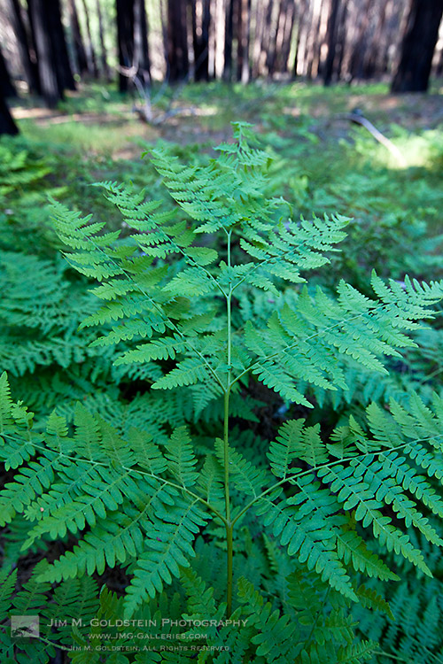Fern Leaves, Yosemite National Park