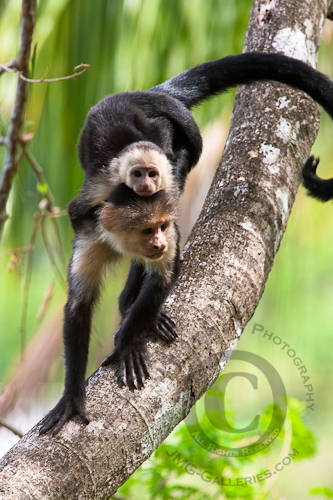 White-headed Capuchin monkey with Baby (Cebus capucinus)