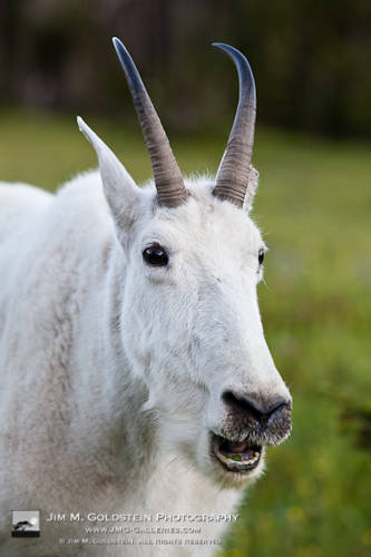Mountain Goat (Oreamnos americanus) - Glacier National Park, California