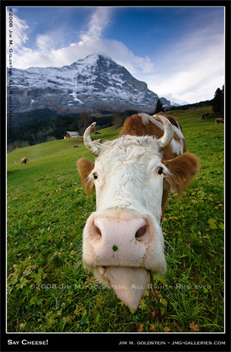 Say Cheese! - Portrait of a Swiss Cow in a Pasture with Mount Eiger in the background