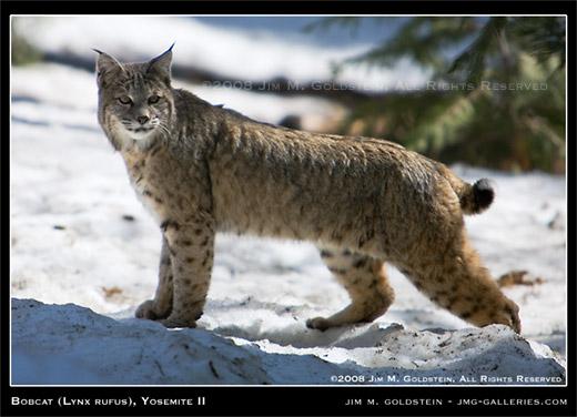 Bobcat (Lynx rufus), Yosemite II photo by Jim M. Goldstein