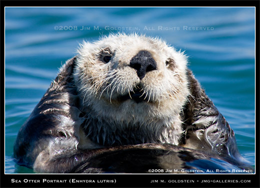 Sea Otter Portrait (Enhydra lutris) photo by Jim M. Goldstein