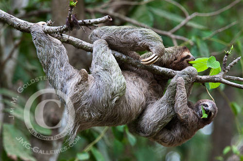 A Brown-throated Sloth and Her Baby Eat Leafs - Corcovado National Park, Costa Rica