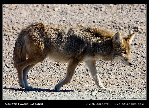 Wild Coyote wildlife photo by Jim M. Goldstein