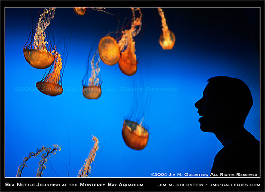 Sea Nettle Jellyfish at the Monterey Bay Aquarium photo by Jim M. Goldstein